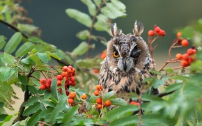 Picture autumn, look, branches, berries, background, owl, bird, fruit, Rowan, narrowed, long-eared owl