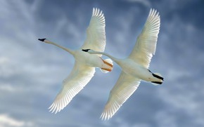 Picture the sky, birds, wings, flight, a couple, swans