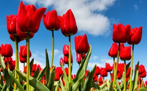 Picture the sky, spring, tulips