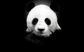 Picture background, Panda, black background