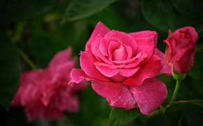 Picture pink, rose, petals, Bud