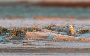 Picture winter, sand, light, snow, owl, bird, polar, dry grass, snowy owl