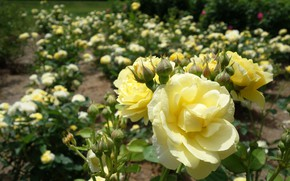 Picture roses, yellow, garden, a lot