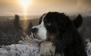Picture winter, frost, forest, look, face, the sun, light, snow, sunset, branches, portrait, dog, Bernese mountain …