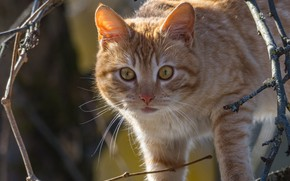 Picture cat, cat, look, branches, red, muzzle, cat, Alexey Kurmanci
