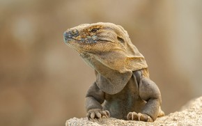 Picture background, Iguana, lizard