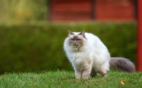 Picture cat, grass, cat, look, pose, Park, garden, muzzle, walk, the bushes, lawn, ragdoll