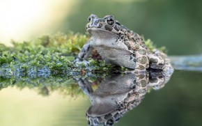 Picture nature, swamp, frog