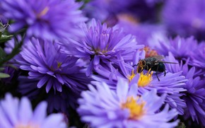 Picture macro, flowers, fly, background, petals, garden, insect, lilac, asters