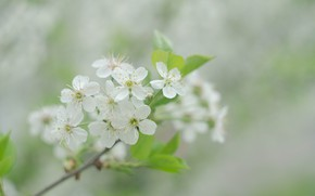 Picture summer, cherry, branch, flowering, white flowers, cherry blossom
