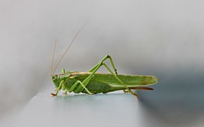 Picture close-up, insect, grey background, close-up, gray background, green grasshopper, зеленый кузнечик