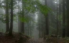 Picture forest, trees, nature, fog, path