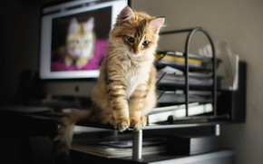 Picture table, animal, monitor, cub, kitty, screen, paper