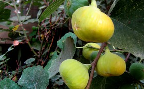 Picture yellow, Sweet fruit, yellow fruit, Fig tree, Fig fruit