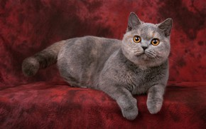 Picture cat, cat, look, pose, kitty, grey, legs, muzzle, cute, lies, kitty, red background, the expression, …