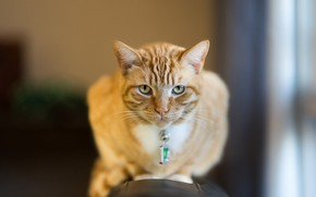 Picture cat, look, red, muzzle, bokeh