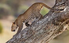 Picture tree, predator, leopard, wild cat