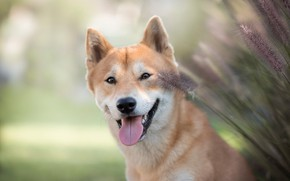 Picture look, face, smile, background, stems, portrait, dog, spikelets, Shiba inu, Shiba