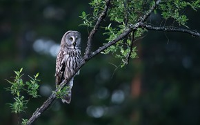 Picture branches, nature, tree, owl, bird, foliage, bokeh, owl