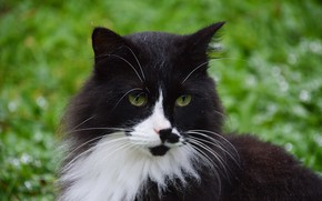 Picture cat, cat, mustache, look, face, nature, black and white, portrait, fluffy, green background, green eyes, …