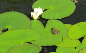 Picture water, nature, sheet, green, frog, Lily, Lily