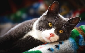 Picture cat, cat, look, face, grey, background, stay, portrait, lies, plaid, handsome, smoky, yellow eyes