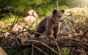 Picture look, branches, nature, pose, tree, baby, bear, bear, bear, pine, brown, Mishutka, deadwood
