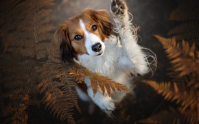 Picture autumn, look, face, leaves, nature, pose, background, paw, portrait, dog, red, fern, view, stand, kooikerhondje