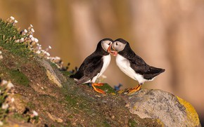 Picture summer, flowers, birds, stones, background, tenderness, two, pair, lovers, stalled, beige, Milota, communication, Atlantic puffin, …