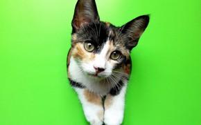 Picture cat, look, background, legs, muzzle, cat