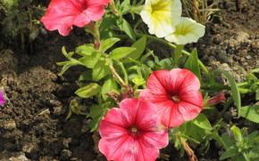 Picture flowers, flowerbed, petunias, Meduzanol ©, summer 2018