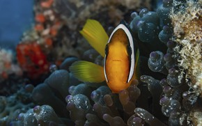 Picture sea, fish, anemones, clown fish