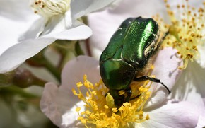 Picture macro, flowers, green, beetle, briar, insect, white, brilliant, brantovka Golden
