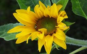 Picture flower, background, sunflower
