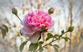 Picture flower, rose, buds