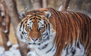 Picture look, face, snow, tiger, wild cat
