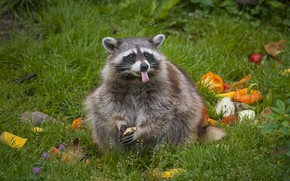 Picture grass, food, raccoon, carrots