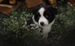 Picture summer, look, leaves, nature, background, black and white, dog, baby, puppy, face, the border collie