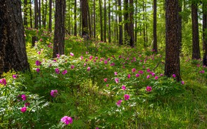Picture forest, trees, flowers, spring, peonies