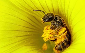 Picture flower, macro, yellow, bee, pollen, stamens, insect, pollen collection