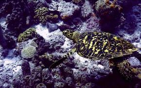 Picture sea, Deep Sea, turtle, seabed, sea turtle, beautiful animals, sea color, Marine colors, sea animals