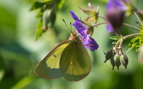 Picture flower, butterfly, bokeh, the limonite