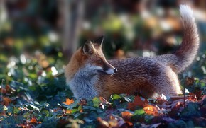 Picture Fox, tail, red, bokeh