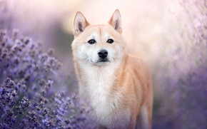 Picture look, face, dog, lavender, Shiba inu