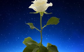Picture rose, white, flower, starry sky