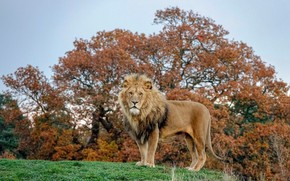 Picture autumn, the sky, grass, look, trees, branches, nature, pose, background, foliage, Leo, is, hill