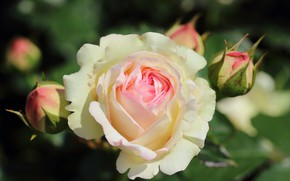 Picture flower, Roses, buds