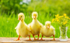 Picture flowers, yellow, kids, three, the goslings, fluffy