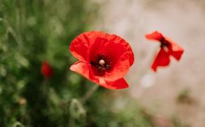 Picture flower, macro, red, background, Mac, Maki, bokeh, blurred