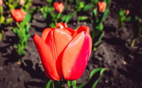 Picture Flowers, Flower, Tulips, Tulip, May 9